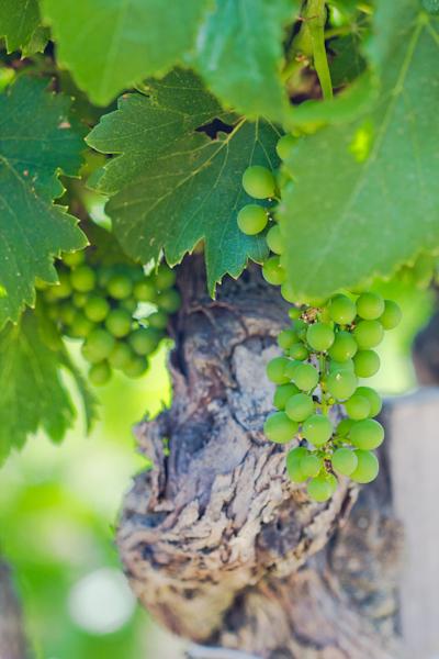Pied de vignes et raisin blanc
