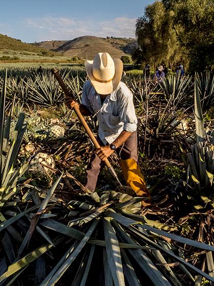 Les piñas, les cœurs d'Agave qui servent à la préparation de la Tequila
