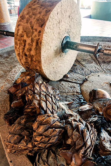 La taona, traditionnellement utilisée pour l'extraction de la pulpe d'agave dans la fabrication du Mezcal