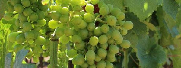 Gros plan sur les raisins de chez Laurent Combier