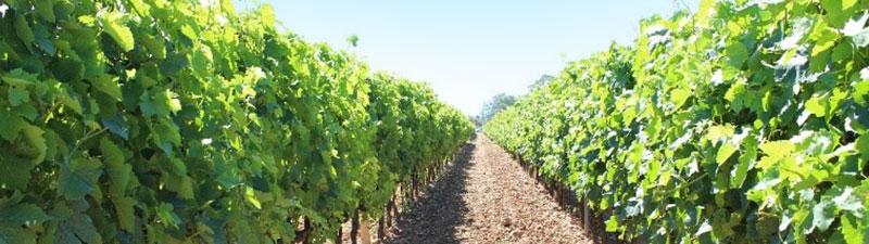 Rangée de vignes