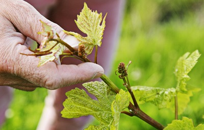 Vigneron Domaine de Gauby